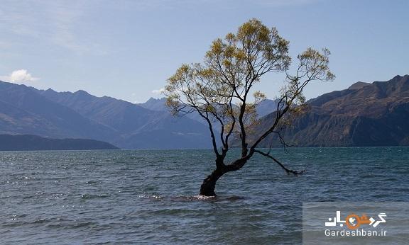 واناکا، معروف ترین درخت اینستاگرام آسیب دید، سمبل امید نیوزلند را با اره بریدند