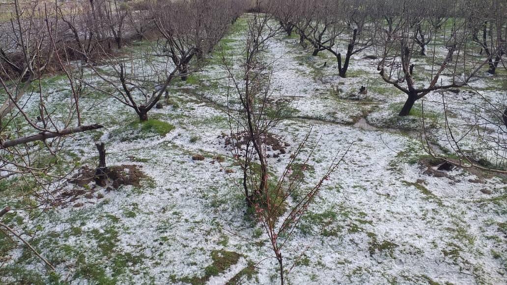 خبرنگاران میزان خسارات سرمازدگی به کشاورزی قزوین در حال جمع آوری است