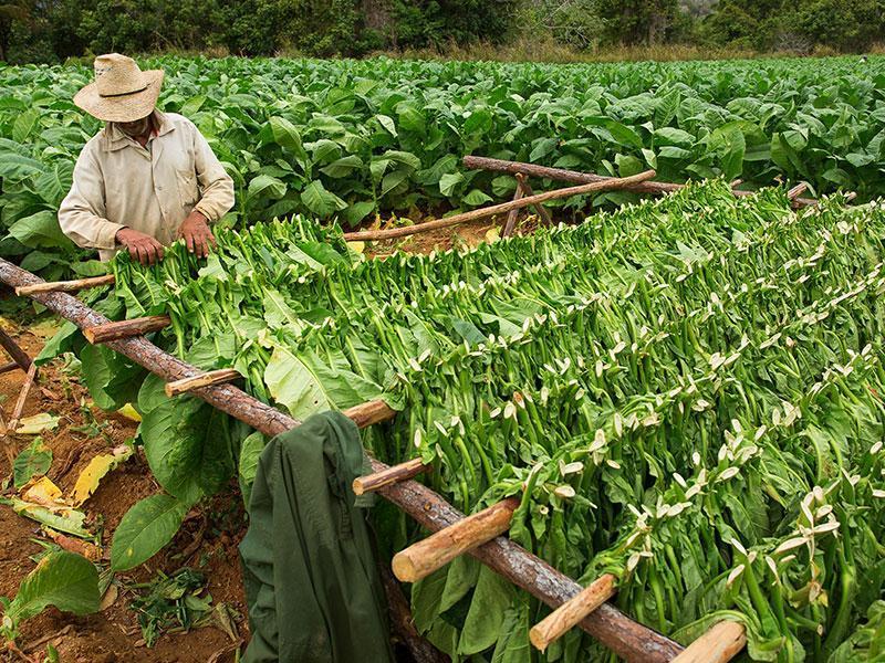 سیگار برگ کوبا، معروف ترین سیگار برگ جهانگذری بر تاریخچه سیگار برگتولید کنندگان غالب سیگار برگ