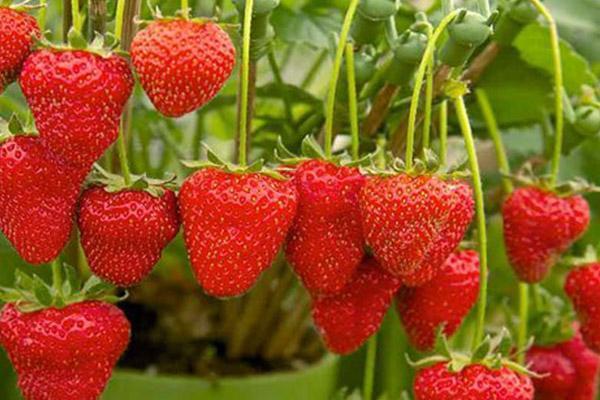 روش کاشت توت فرنگی در منزل